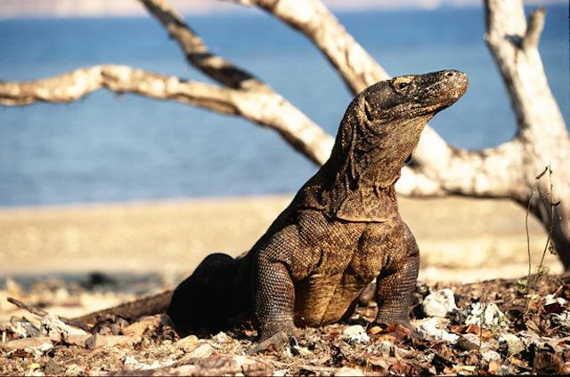 Pulau Komodo (sumber)