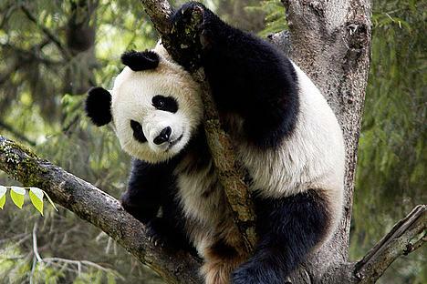 panda raksaksa