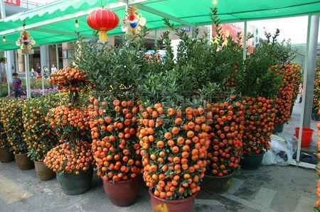 pohon jeruk mandarin