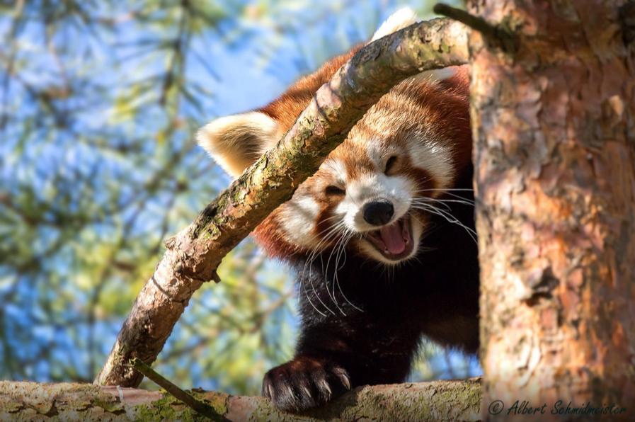 panda merah